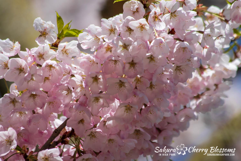sakura watch may 17-19-173.jpg