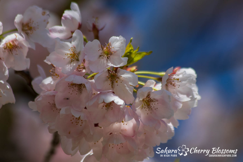 sakura watch may 17-19-179.jpg