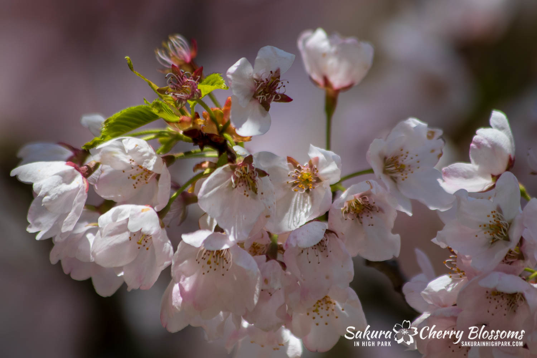 sakura watch may 17-19-181.jpg
