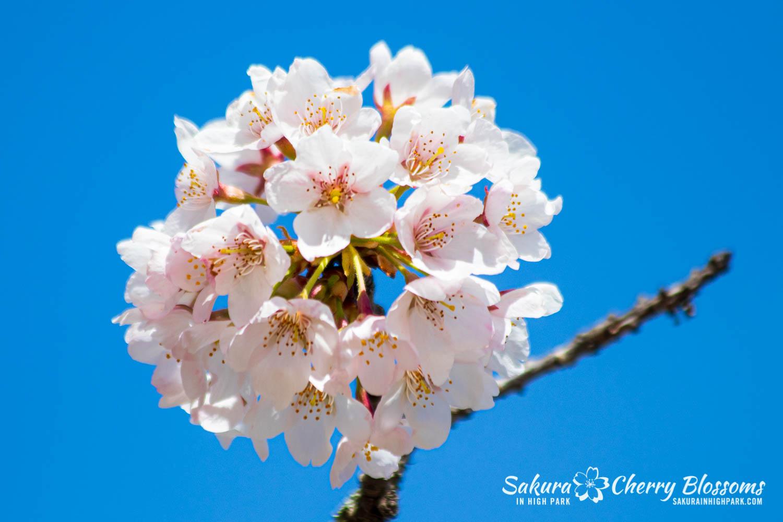 sakura watch may 17-19-209.jpg