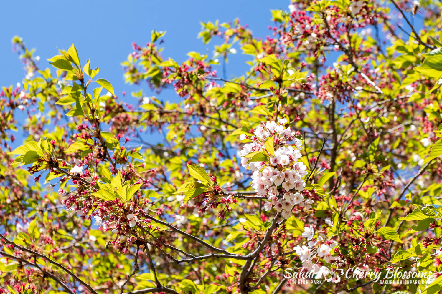 sakura watch may 21-2019-4.jpg