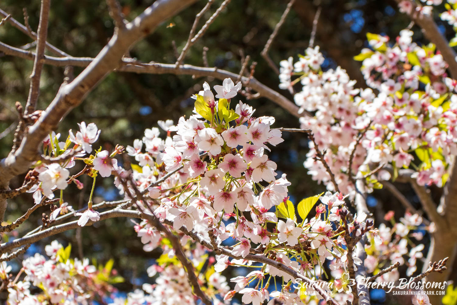 sakura watch may 21-2019-20.jpg