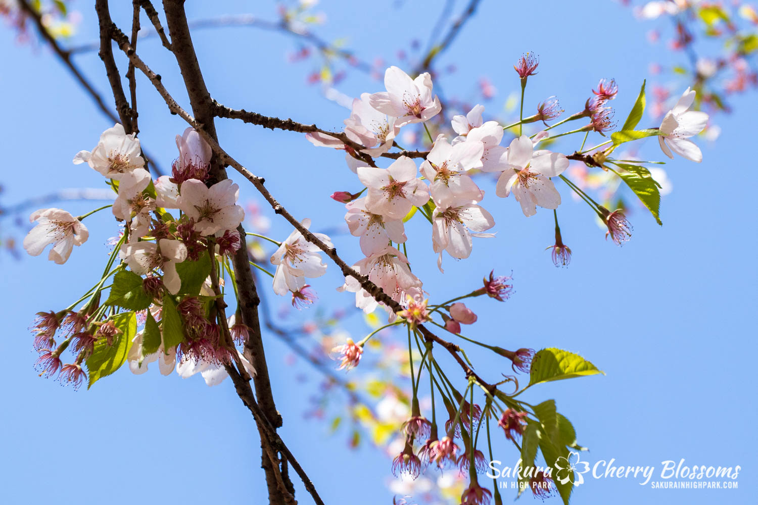 sakura watch may 21-2019-40.jpg