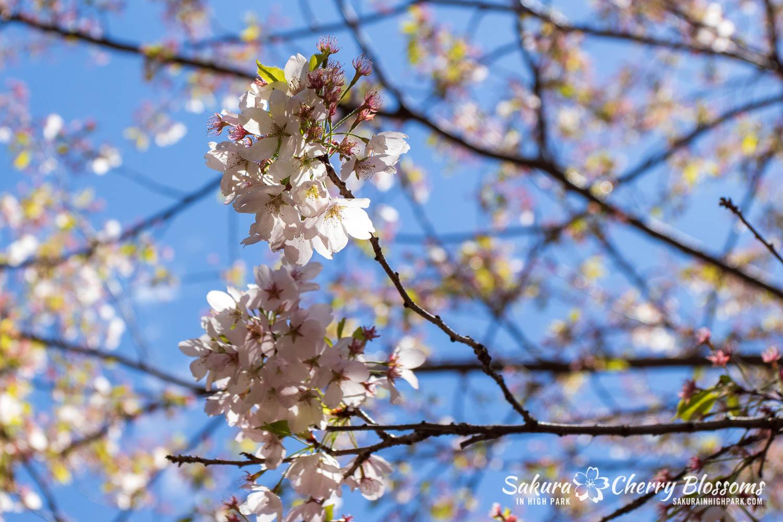 sakura watch may 21-2019-44.jpg