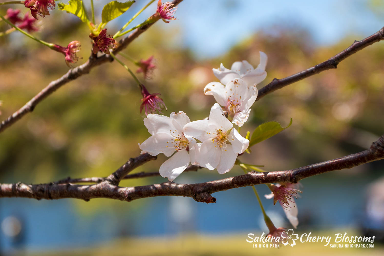 sakura watch may 21-2019-47.jpg