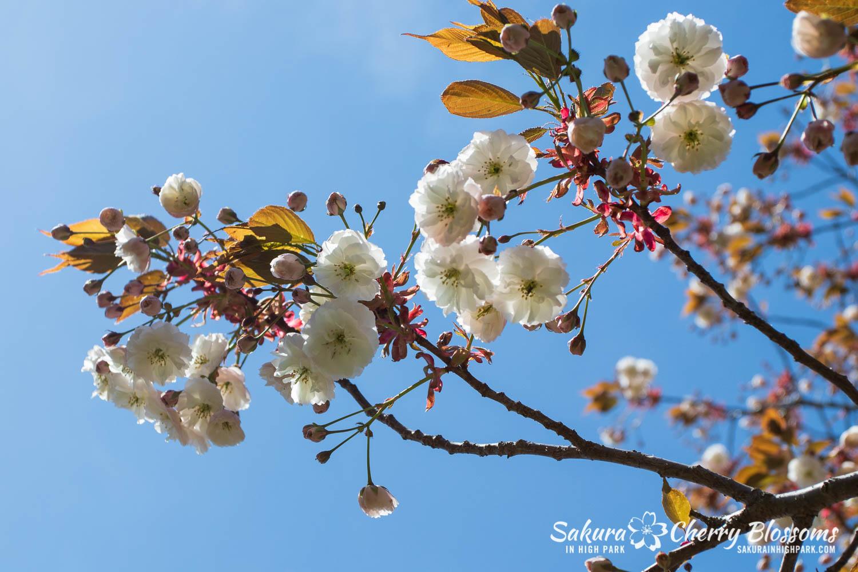 sakura watch may 24-2019-48.jpg