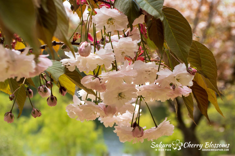sakura watch may 24-2019-20.jpg