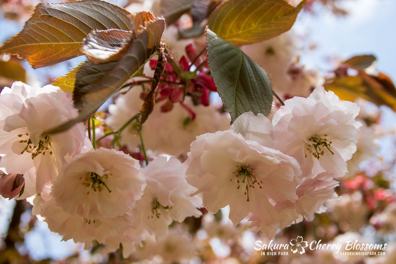 sakura watch may 24-2019-6.jpg