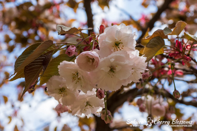 sakura watch may 24-2019-12.jpg
