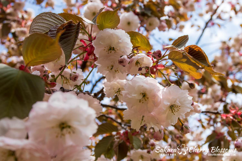 sakura watch may 24-2019-9.jpg