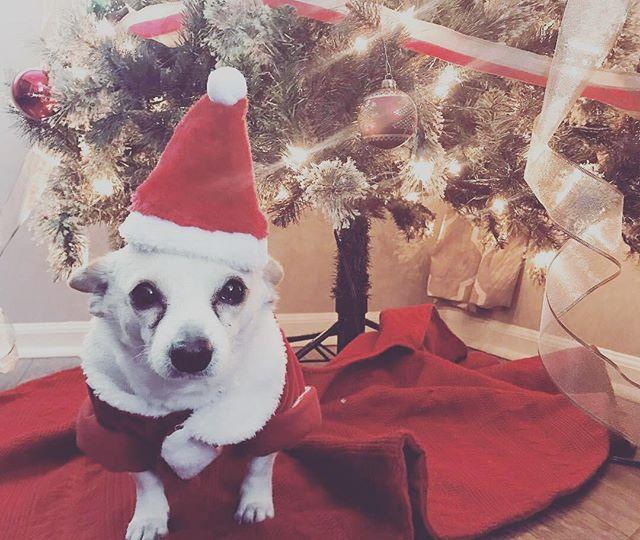 Feliz Navidad 🎄 - - - - - - #santa #saved #rescue #linchpins #puertorico #satos #dog #chihuahua #instadog #dogs #dogstagram #cute #christmas #holidays #cute #film #documentary #womeninfilm