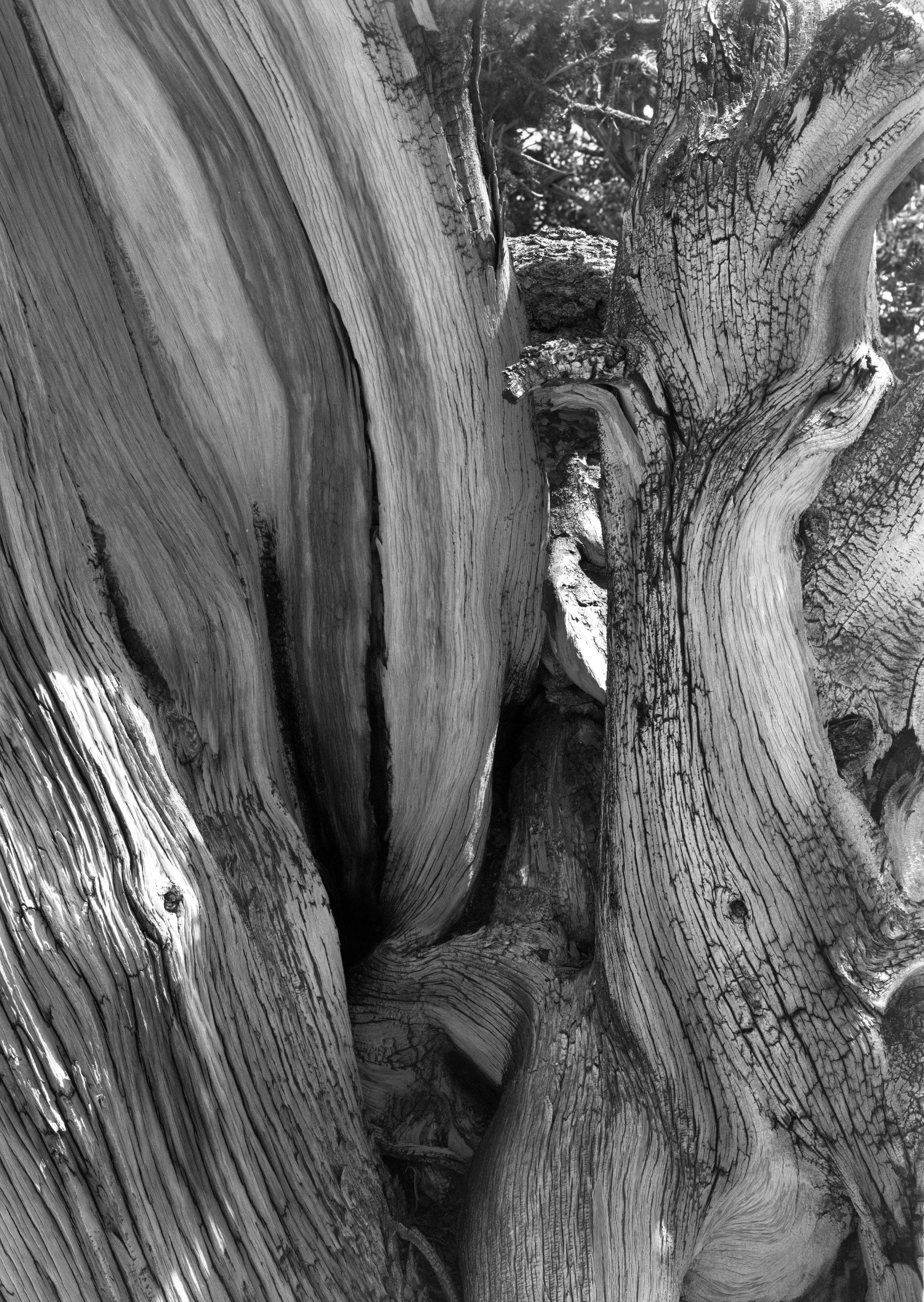 204_Bristlecone_Pine.jpg