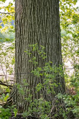 Burr Oak, photo by Kirk