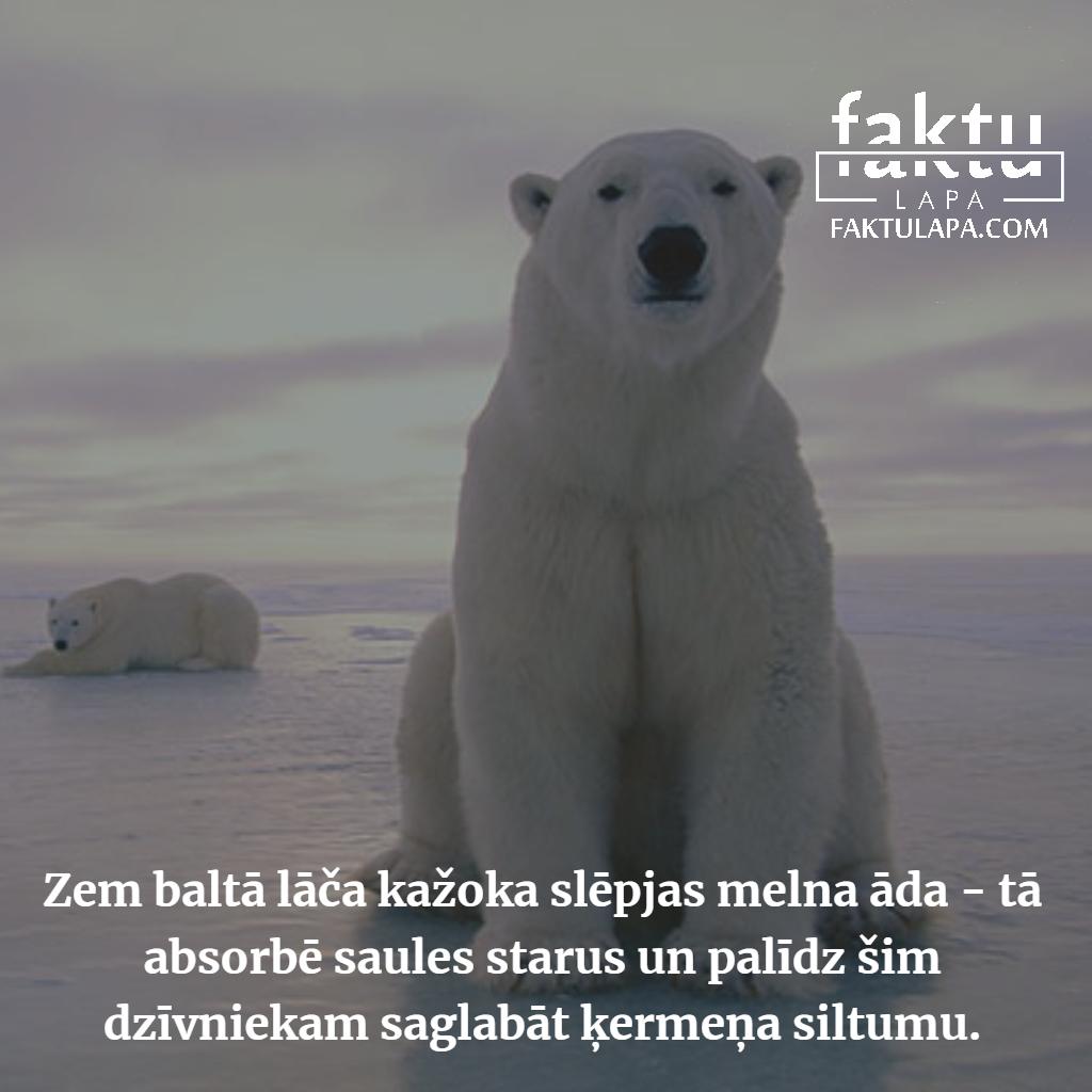 baltais lācis.png