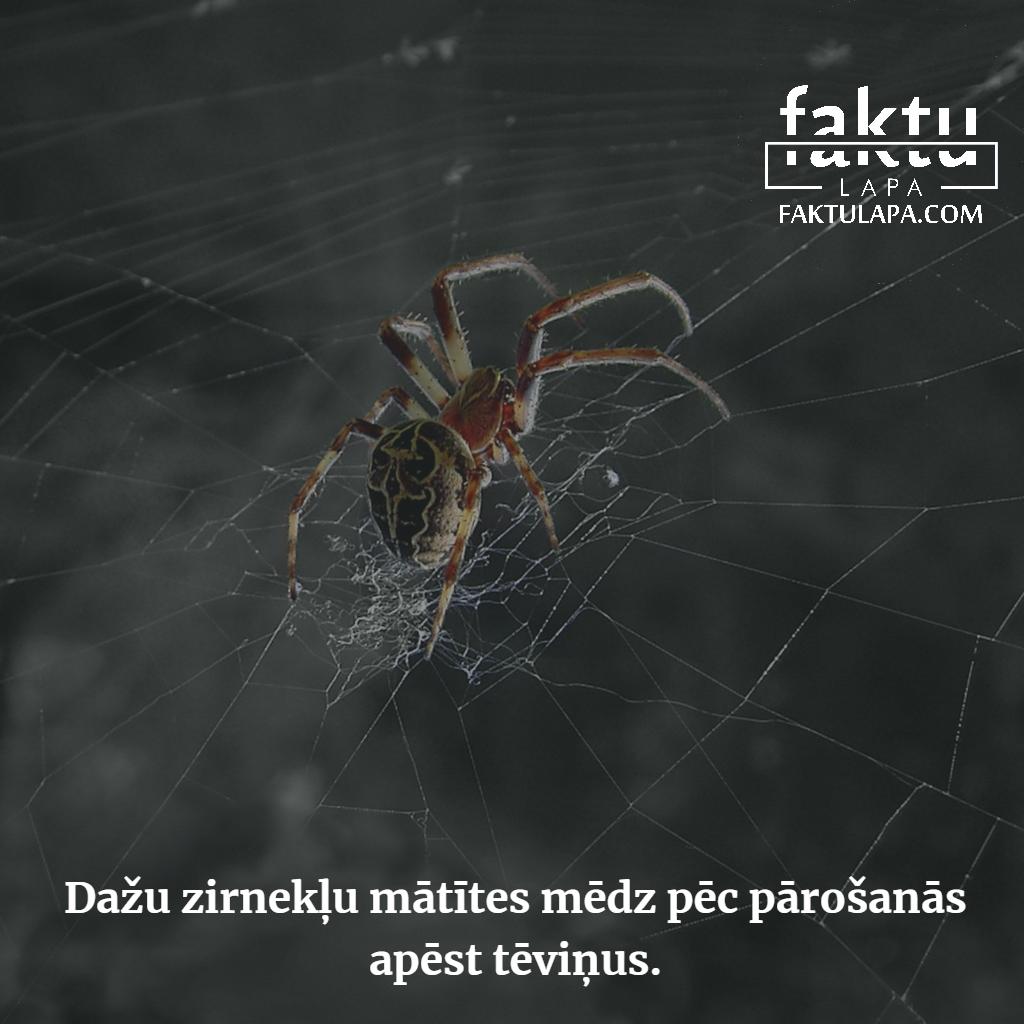 zirnekļu mātītes.png