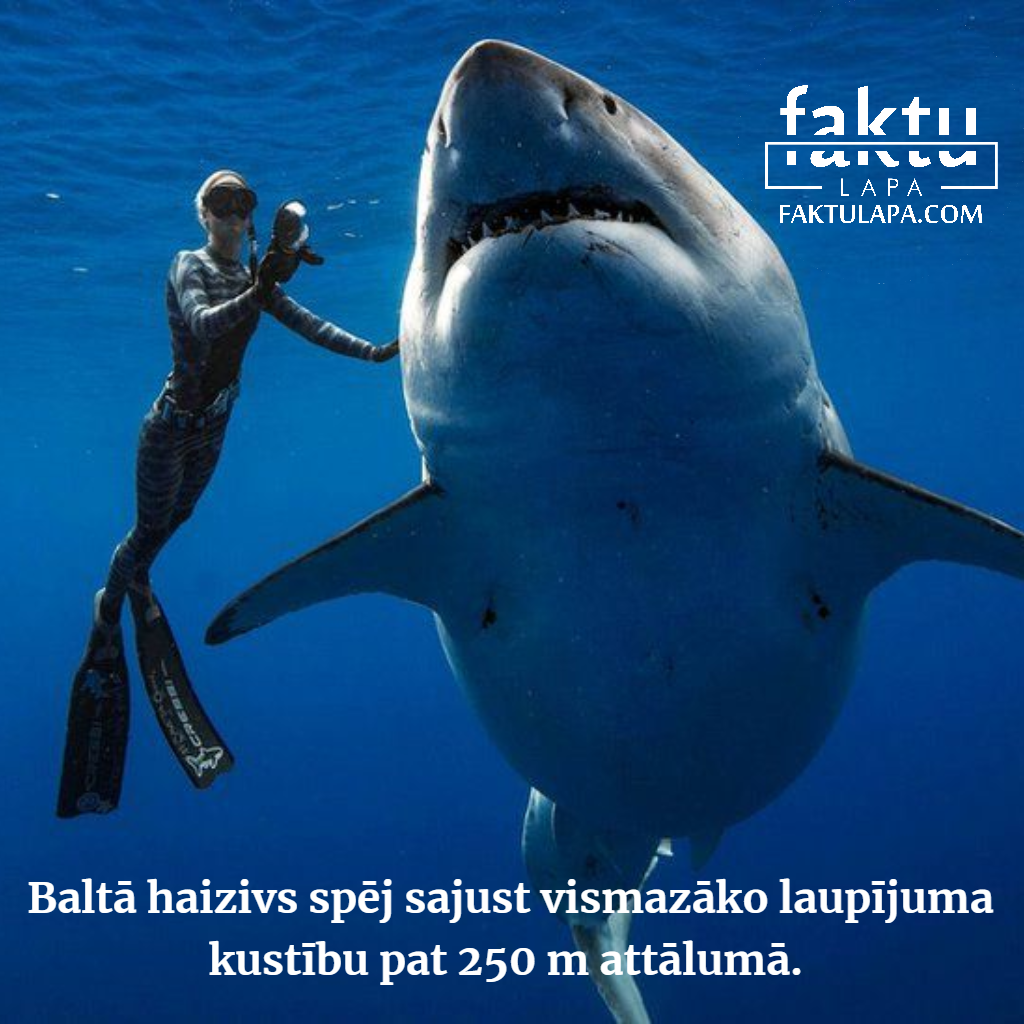 baltās haizivs jutība.png