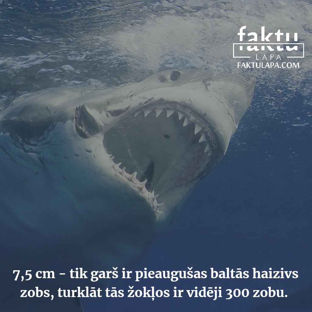 baltās haizivs zobi.png