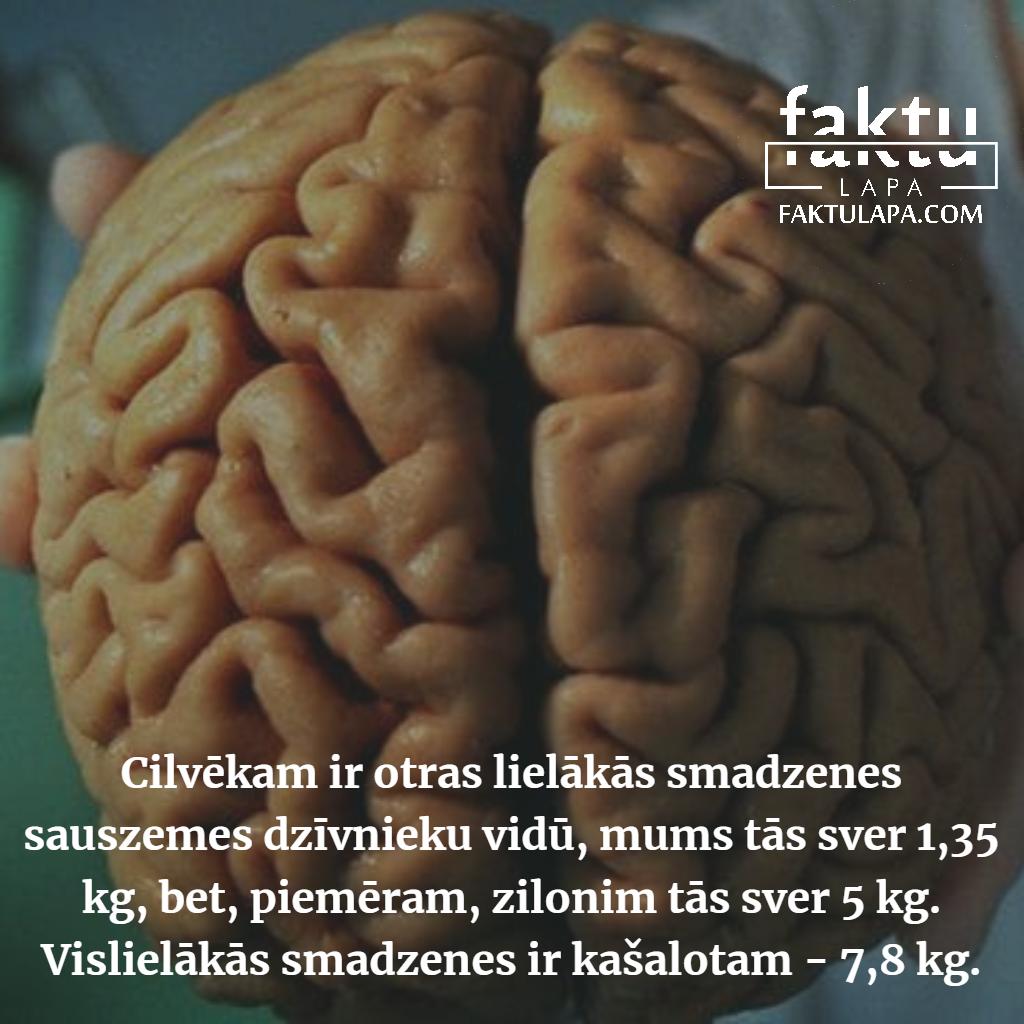 cilvēka smadzenes.png