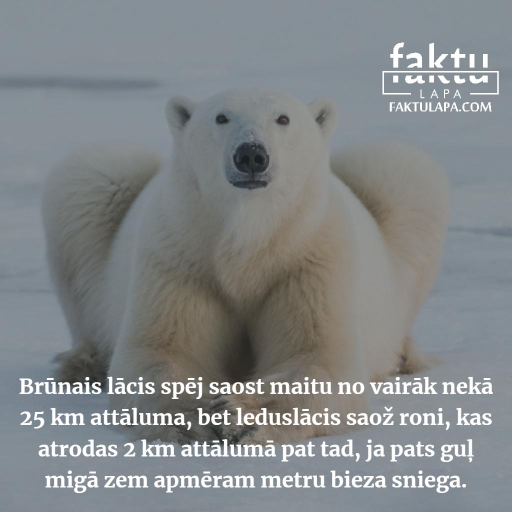 leduslācis un ronis.png
