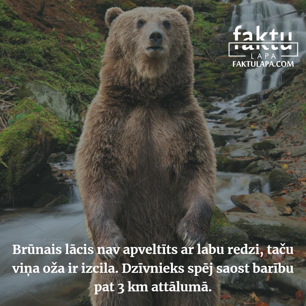 brūnais lācis.png
