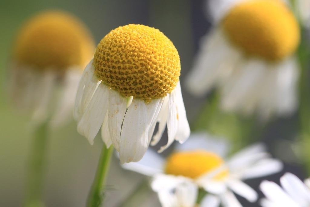 chamomile axis y seasons