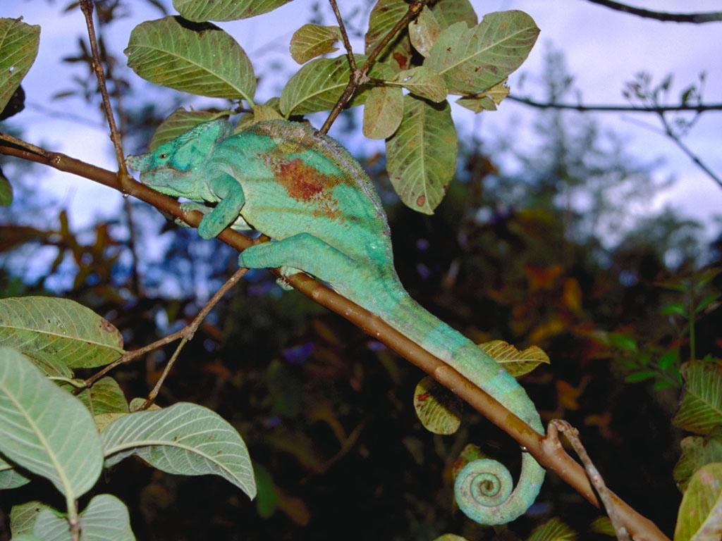 Camaleonte verde.JPG
