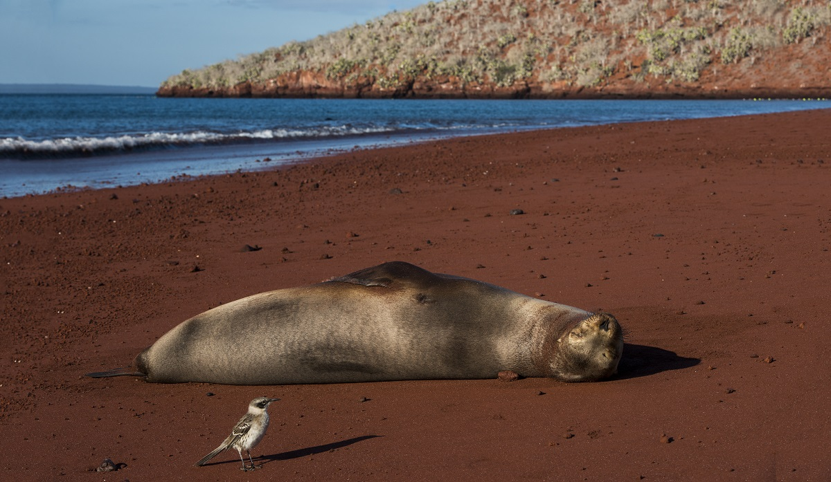 Rabida_Island_Galapagos_Mockingbird_and_Sea_Lion_at_Red_Beach_1556.jpg