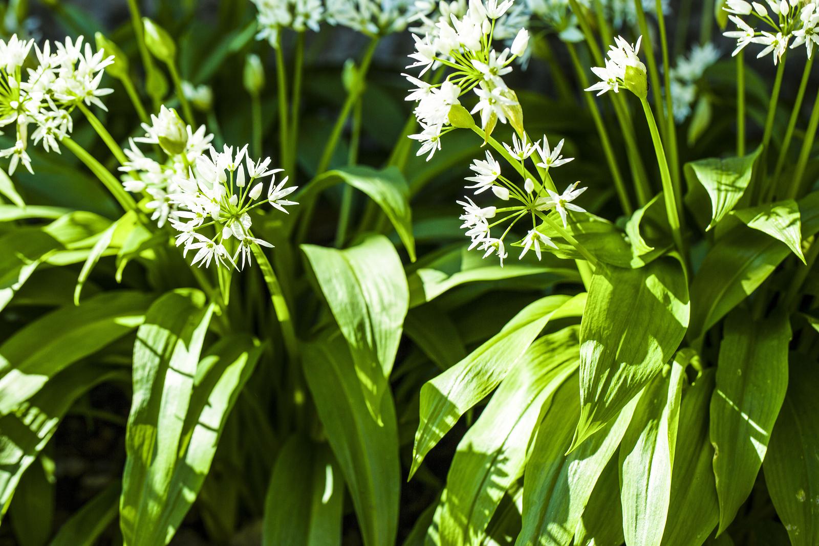 wild-garlic-1.jpg