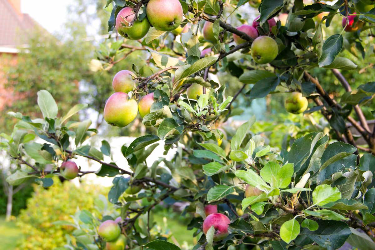 apple tree back garden sml.jpg