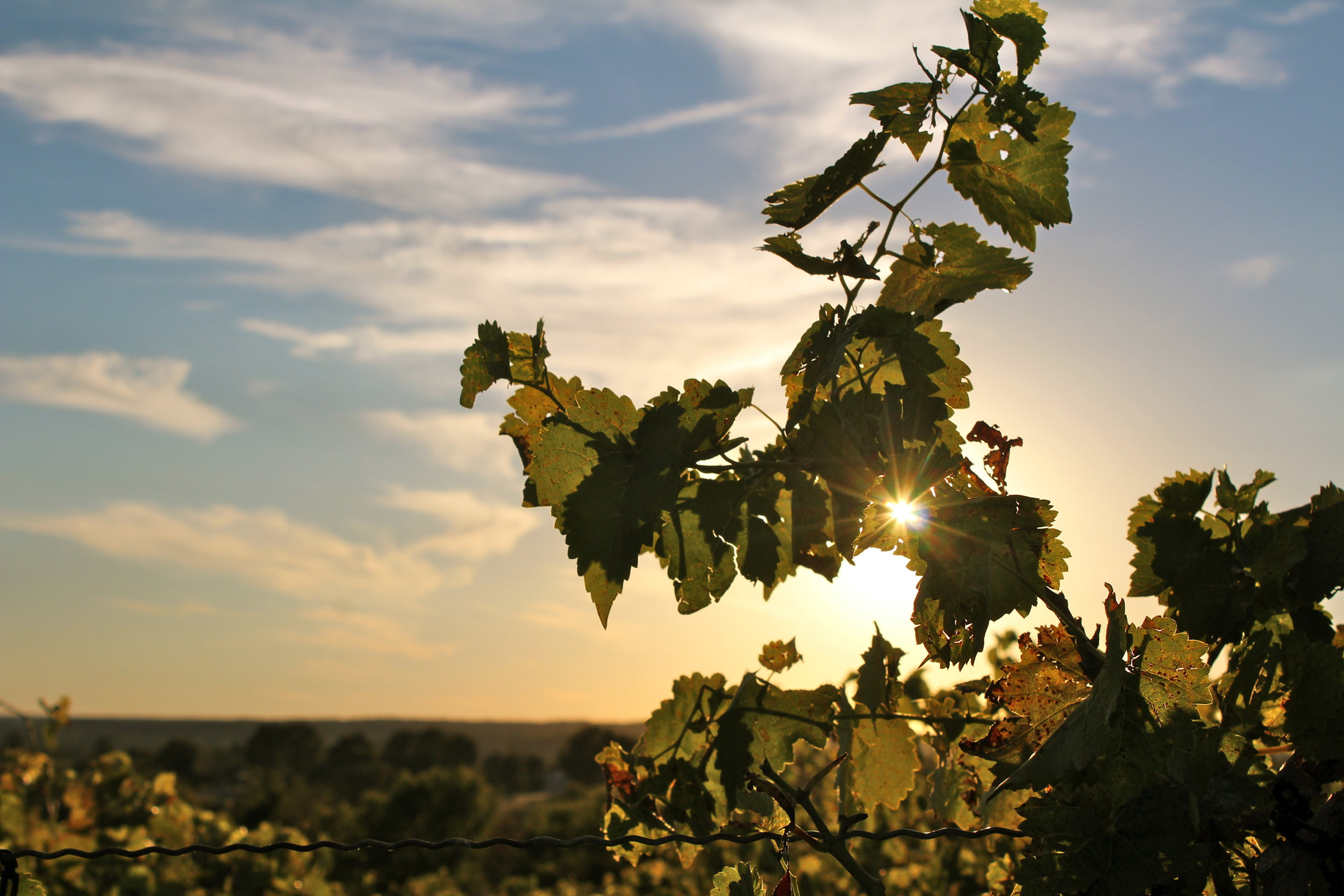 Röbller Vineyard, fall 2015. Photo by  MK Designs  Photography Fine Art and Portrait