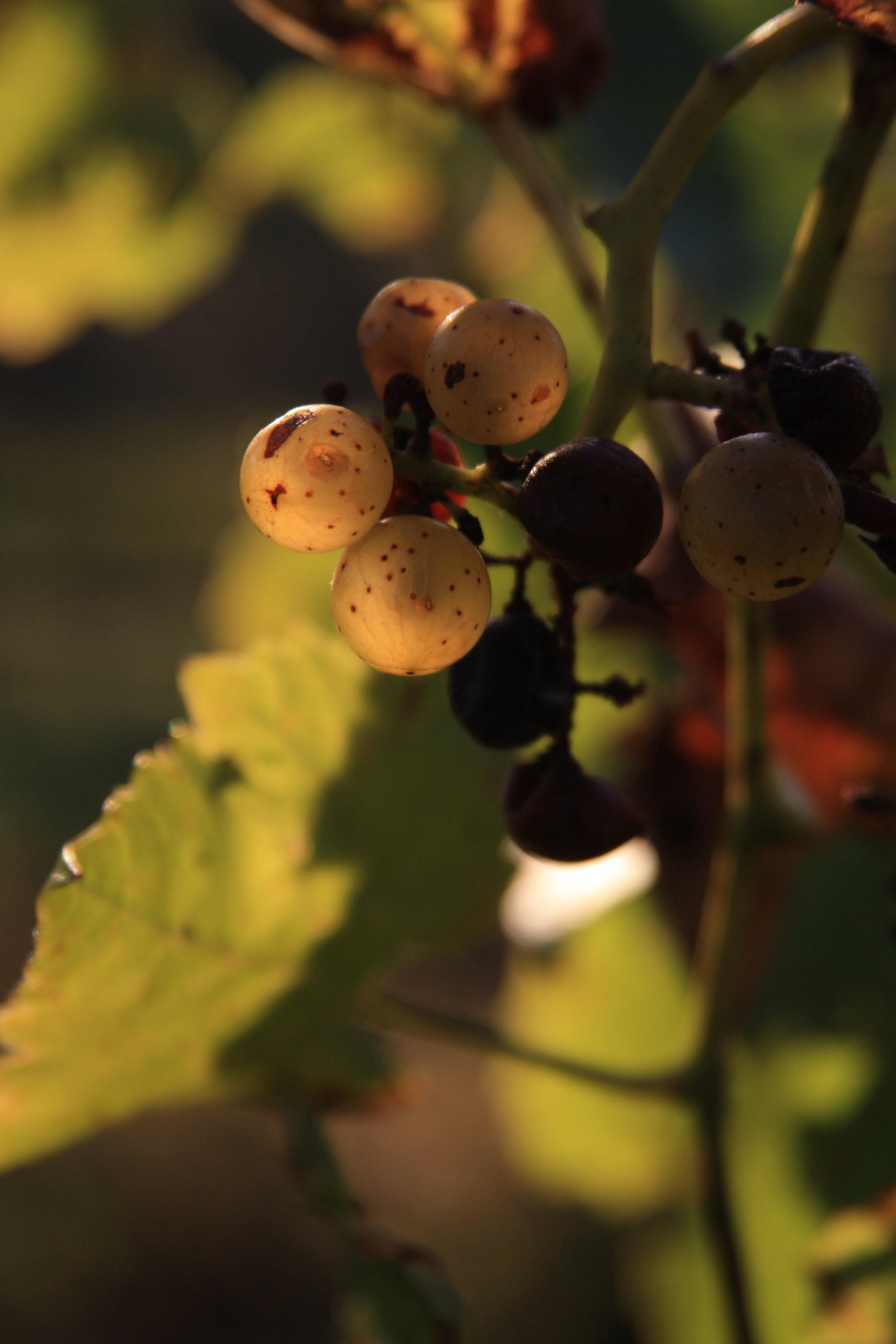estate-grown - Each vintage brings more interesting fruit than the last.