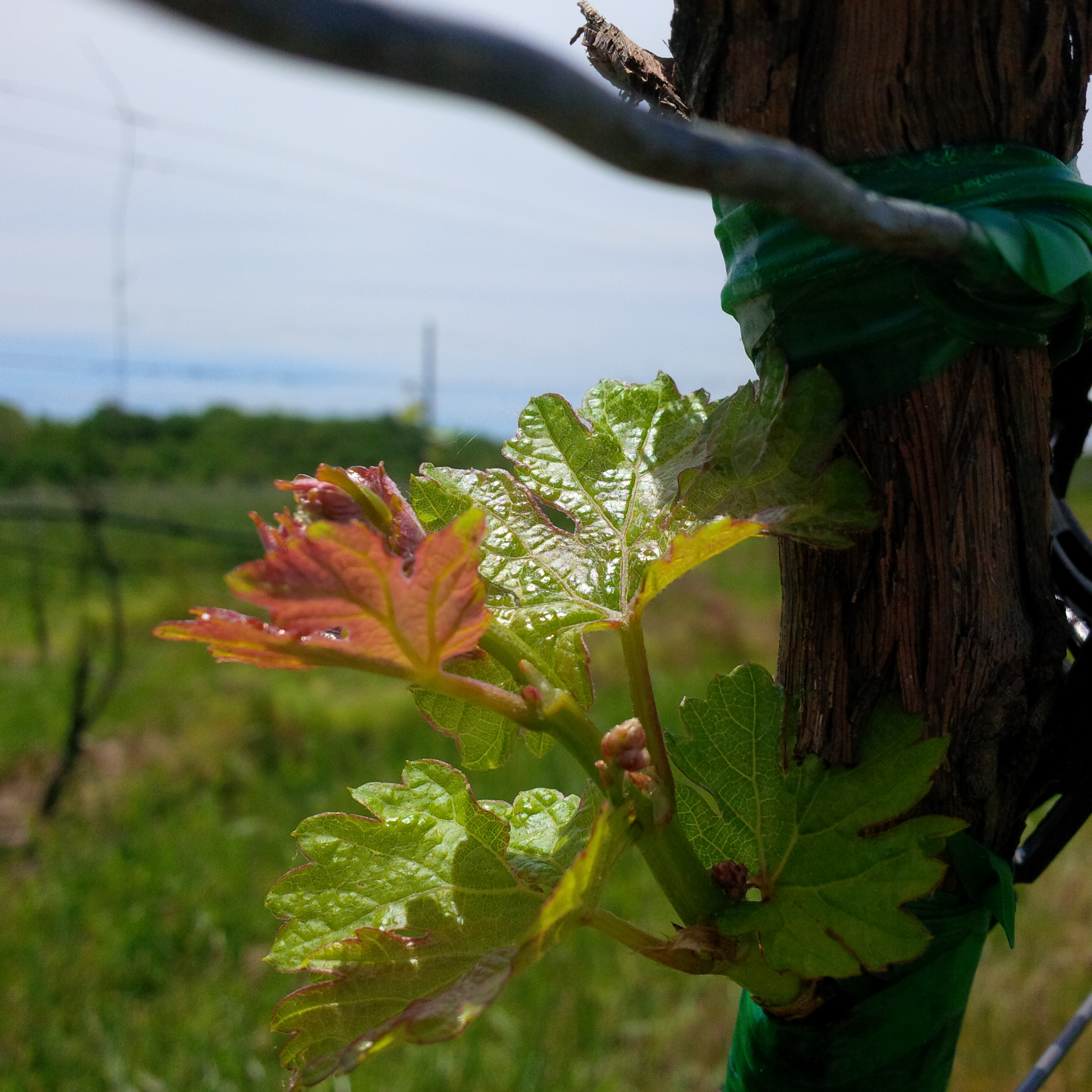 "From northern Italy … - Refosco dal Peduncolo Rosso, or simply ""Refosco"" as it is commonly referred to, is the name of a grape and the red wine produced from that grape. This photo shows the bright Refosco leaves growing from a chip bud graft within the Röbller vineyard."