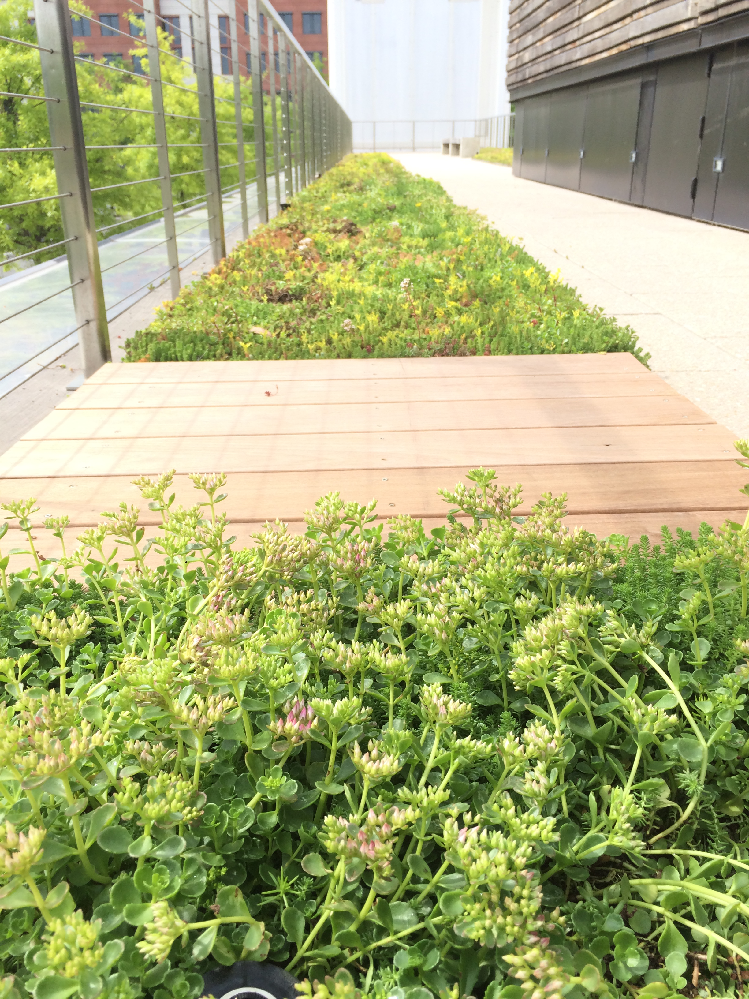 Washington DC Green Roof - Sedum.JPG