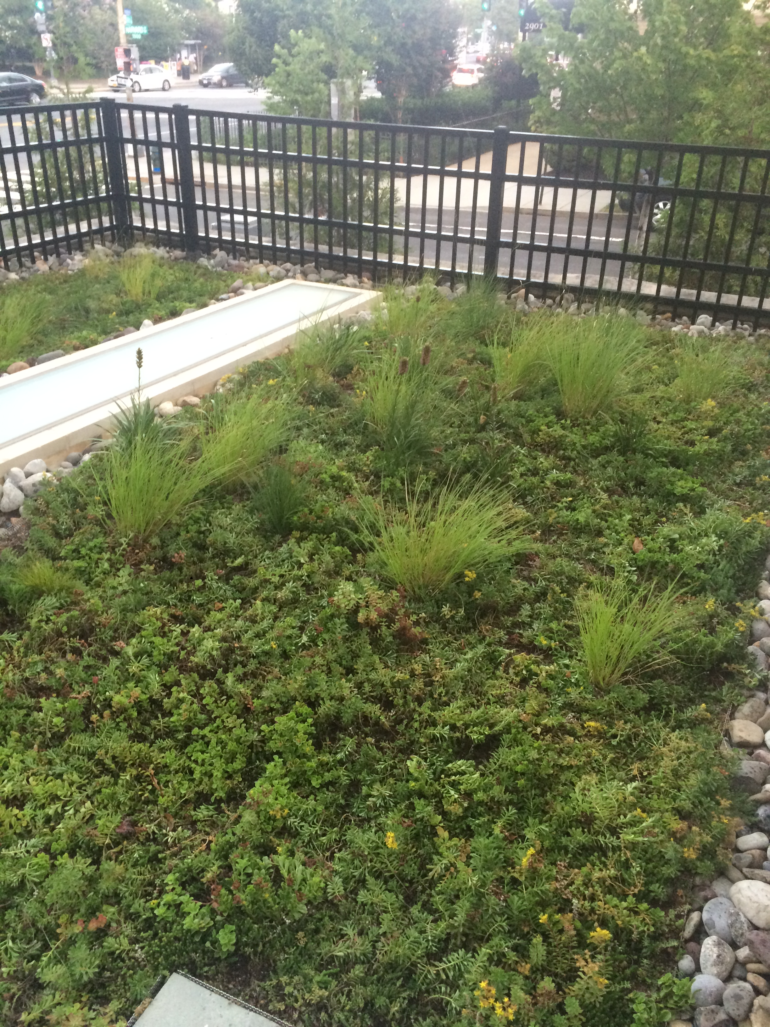 Washington, DC Green Roof - Grasses Interplanted.JPG