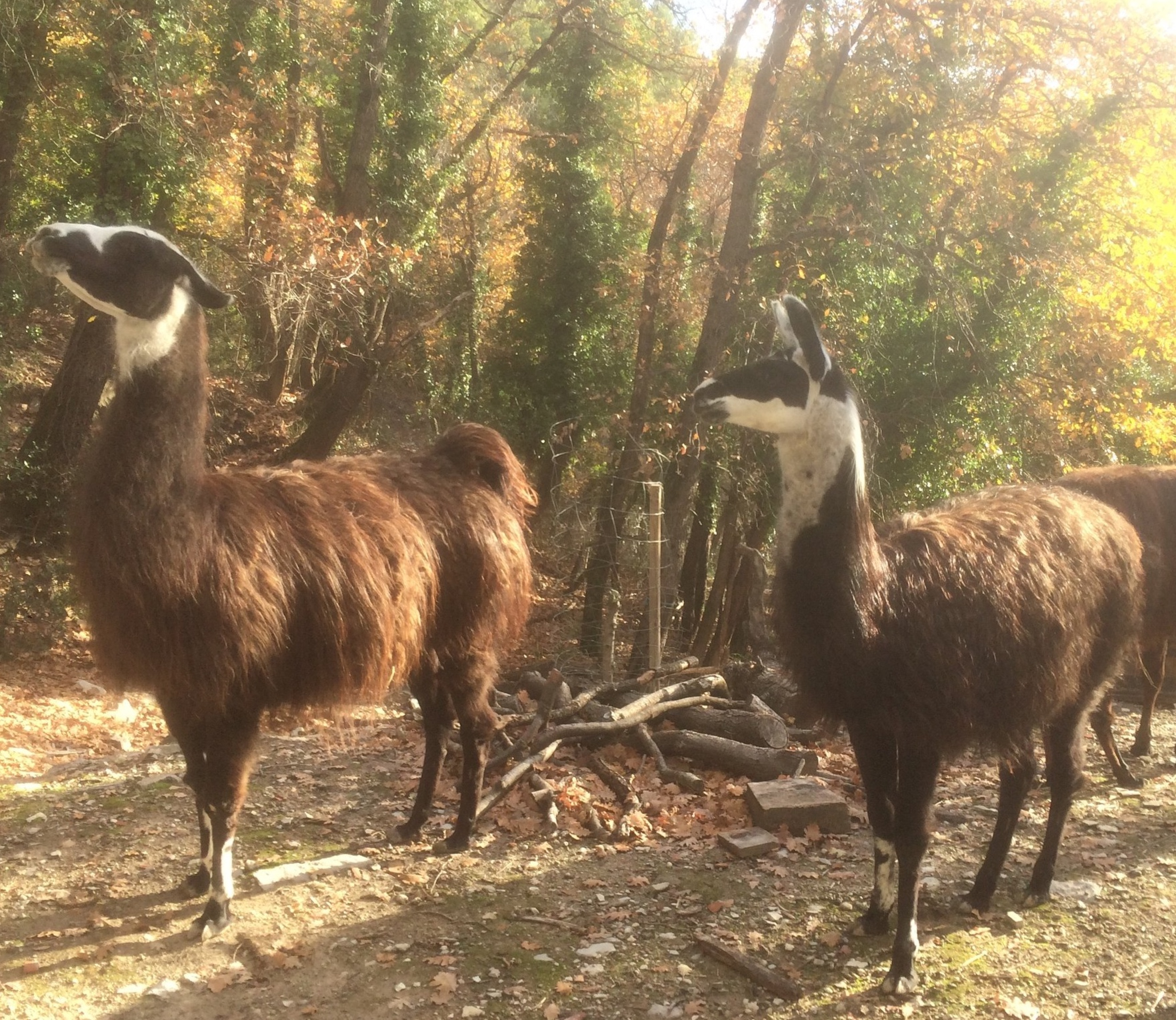 The Llamas at Creve-Coeur