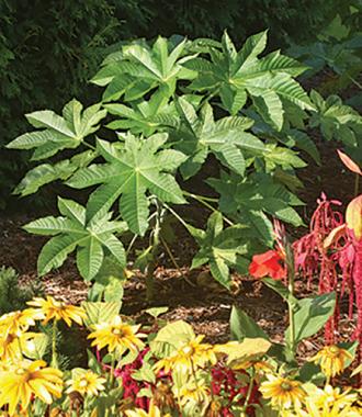 Castor Plant.jpg