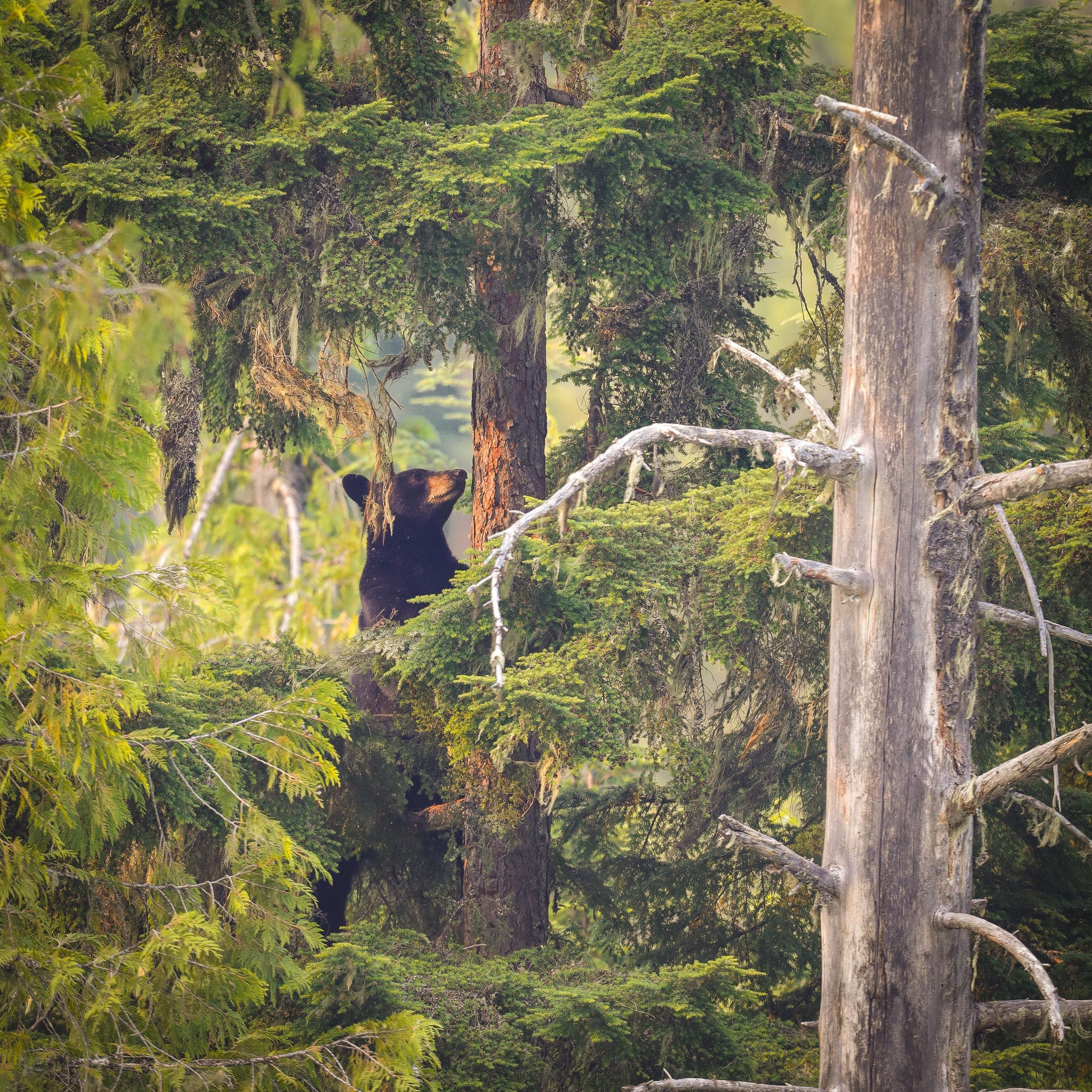 Bear in tree square crop FINAL.JPG