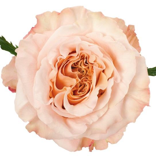 Premium Peach/Blush rose - Photo by DVFlora
