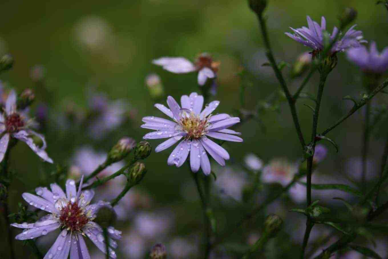 Symphyotrichum-cordifolium-flower-head.jpeg