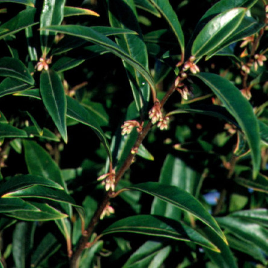Sweet box,  Sarcococca hookeriana  var.  humilis