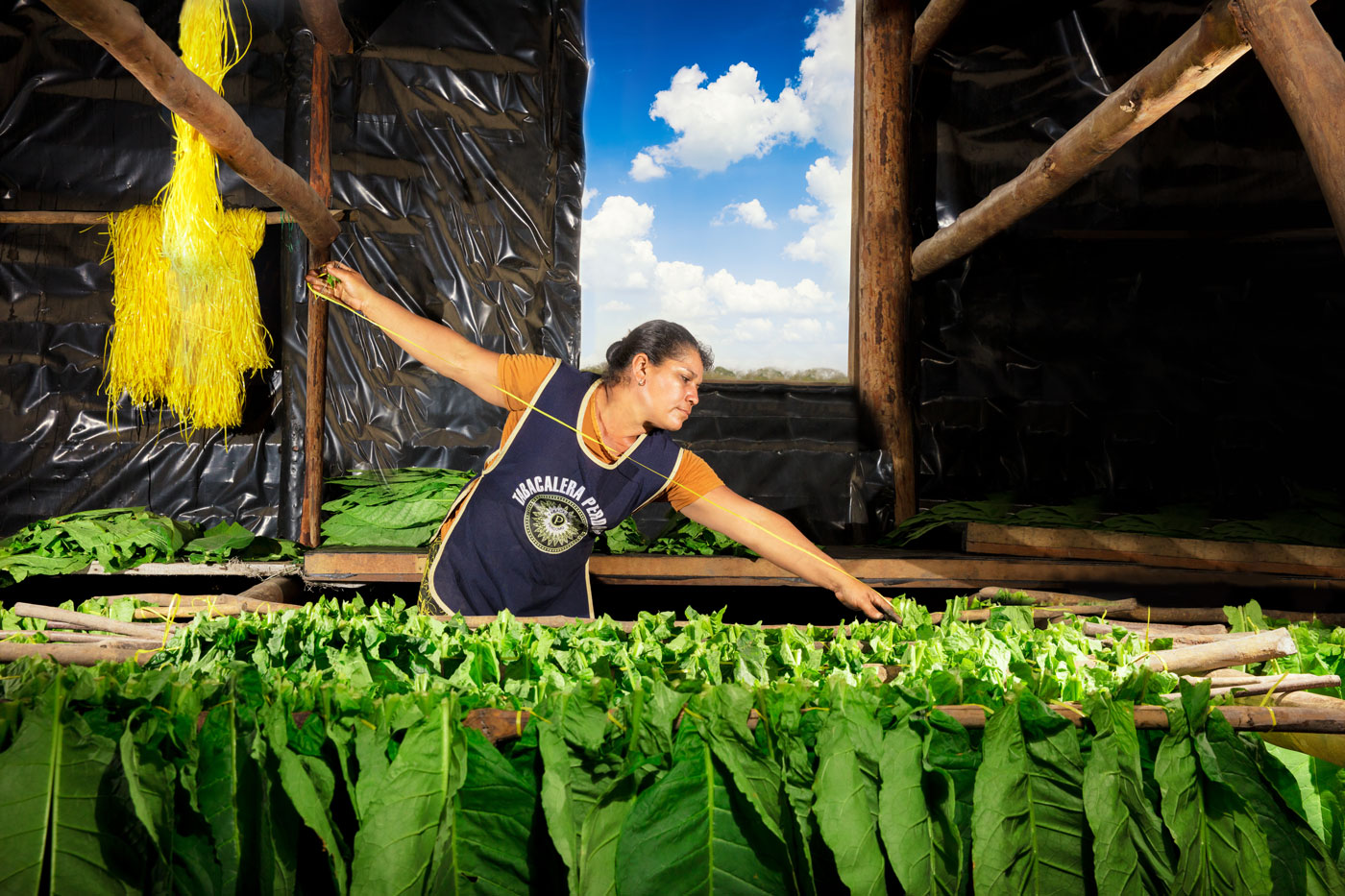 Stringing Tobacco in the Curing Barn