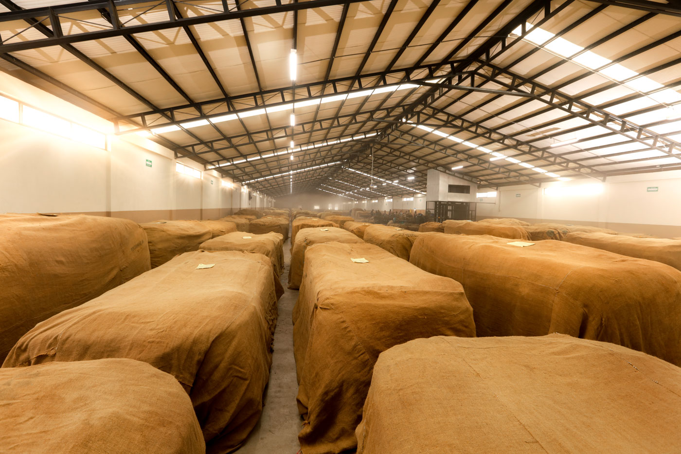 Fermenting Tobacco in Pilón's