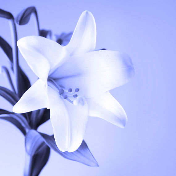 Easter Lily SQ Blue.png