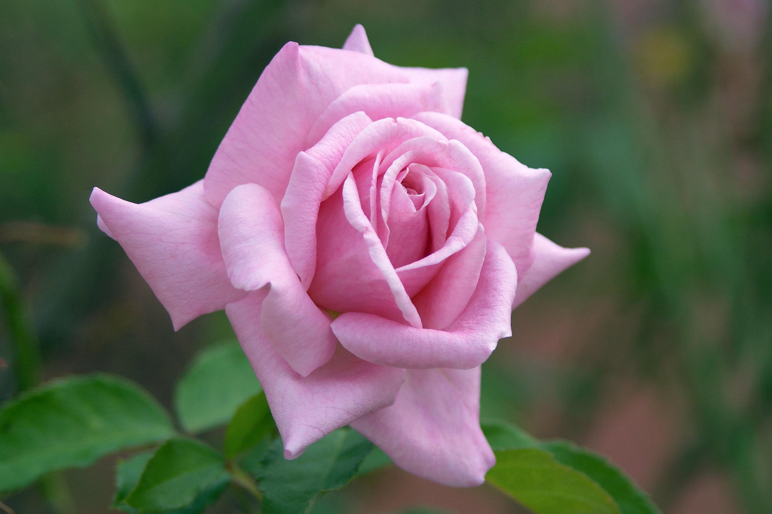 dreamstime_xxl_139025-pinkrose.jpg