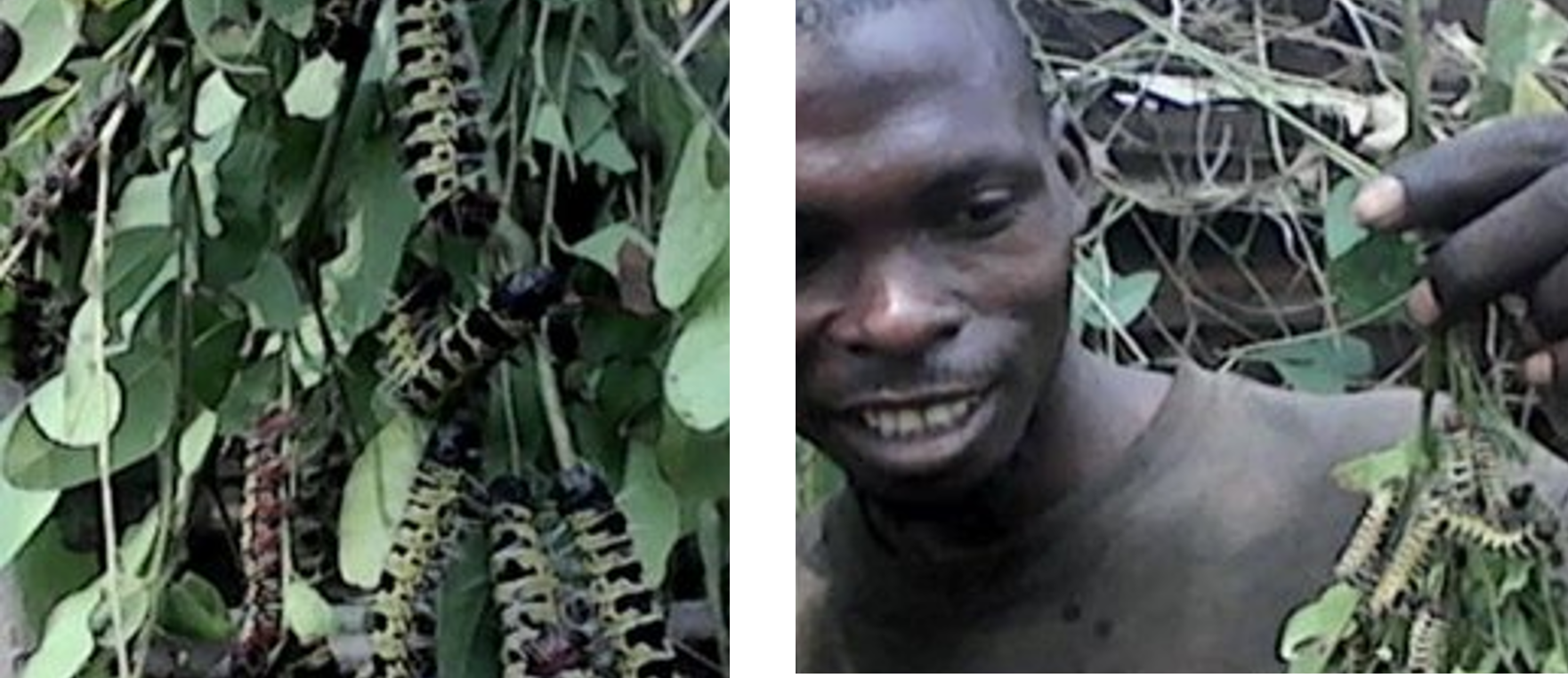 """REVE Kandale staff collecting """"mingolo,"""" a favorite caterpillar species that is a source of protein for the Kandale community. The long-lost caterpillars are back due to tree-planting."""