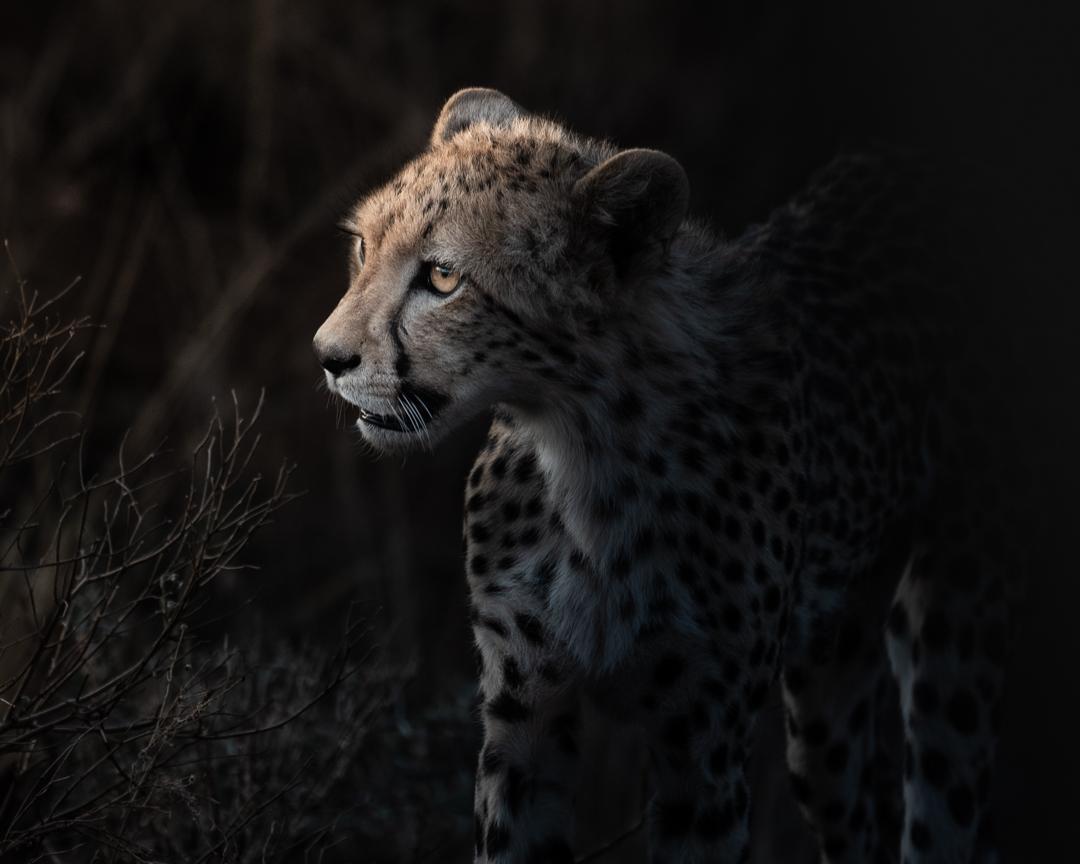 cheeta (1 av 1).jpg