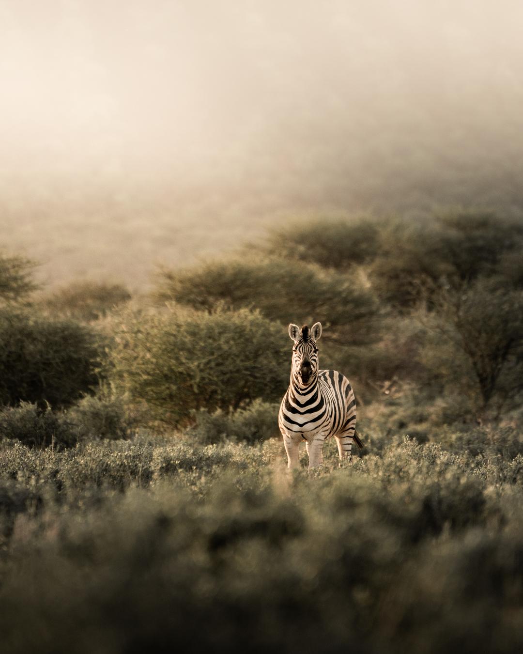 zebra (1 av 1).jpg