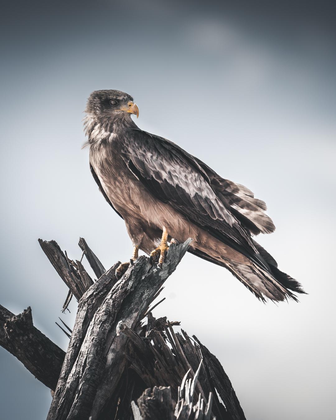 falcon (1 av 1)-2.jpg