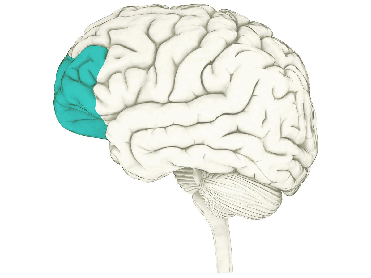 prefrontalcortex.jpg