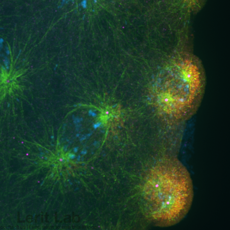 Microtubules (green) nucleated by centrosomes (magenta) partition the germ plasm (red) into PGCs.